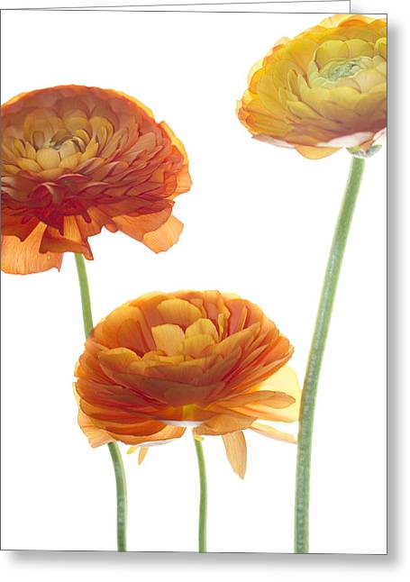 Ranunculus Greeting Cards - Three Raunuculus Greeting Card by Rebecca Cozart