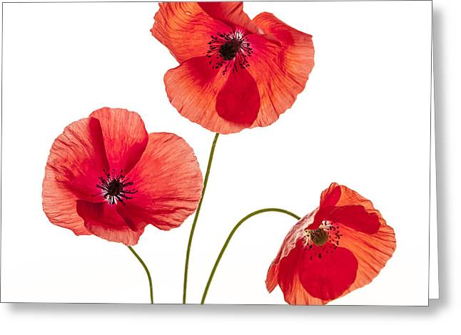 Square Format Greeting Cards - Three red poppies Greeting Card by Elena Elisseeva