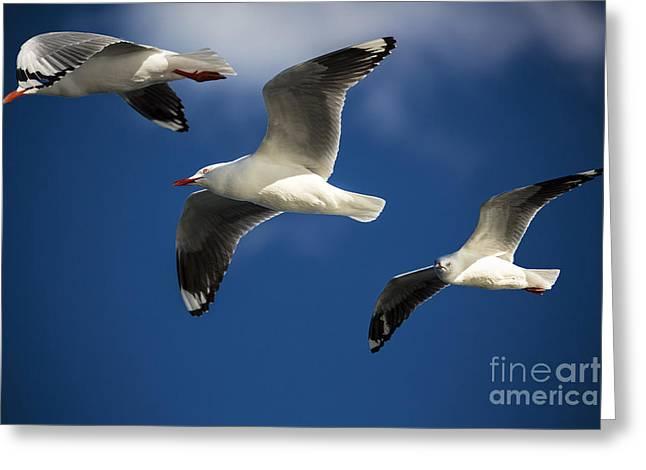 Three silver gulls in flight Greeting Card by Sheila Smart