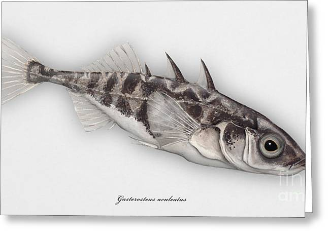 Finny Greeting Cards - Three-spined stickleback Gasterosteus aculeatus - Stichling - Lepinoche - Espinoso - Kolmipiikki Greeting Card by Urft Valley Art