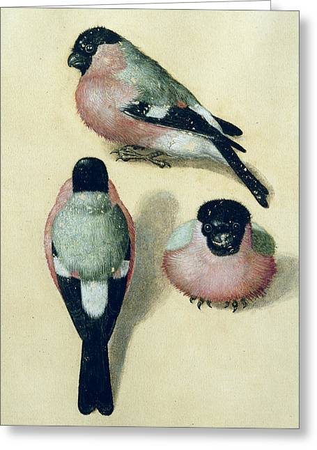 Finch Greeting Cards - Three studies of a bullfinch Greeting Card by Albrecht Durer