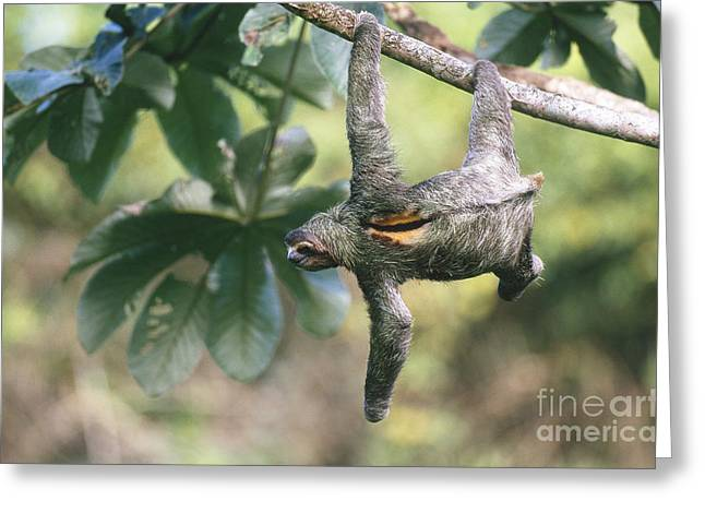 Three-toed Sloth Greeting Cards - Three-toed Sloth Greeting Card by Art Wolfe