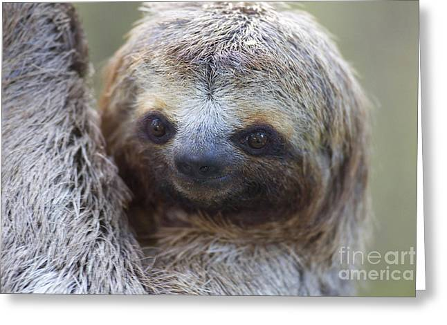 Brown-throated Three-toed Sloth Greeting Cards - Three-toed Sloth Greeting Card by BG Thomson