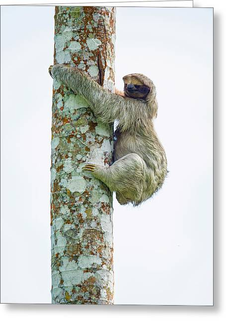 Sloth Photographs Greeting Cards - Three-toed Sloth Bradypus Tridactylus Greeting Card by Panoramic Images