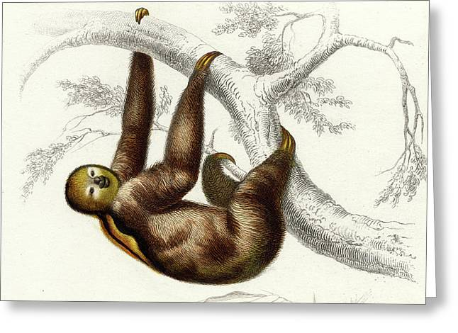 Three-toed Sloth Greeting Card by Collection Abecasis