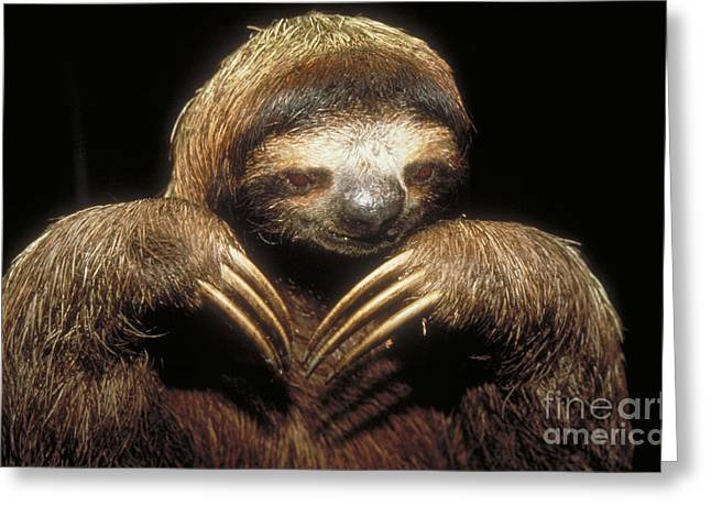 Sloth Greeting Cards - Three Toed Sloth Greeting Card by Explorer