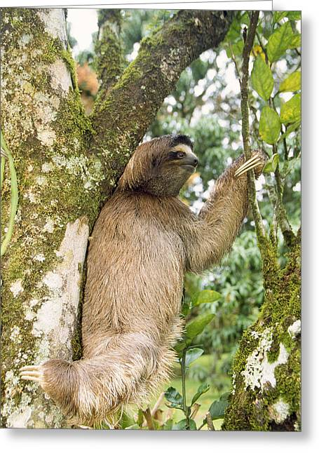 Three-toed Sloth Greeting Card by M. Watson
