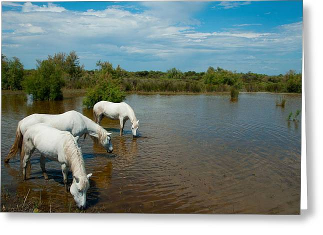 Horse Images Greeting Cards - Three White Camargue Horses In A Lagoon Greeting Card by Panoramic Images