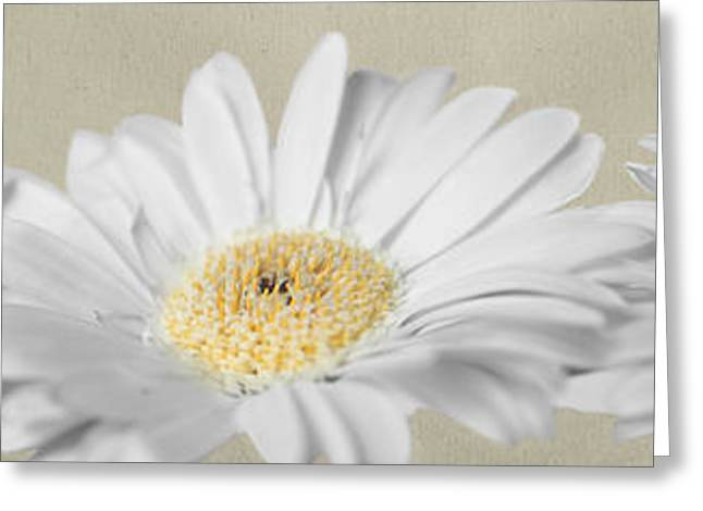 ist Photographs Greeting Cards - Three White Daisies Greeting Card by Eden Baed