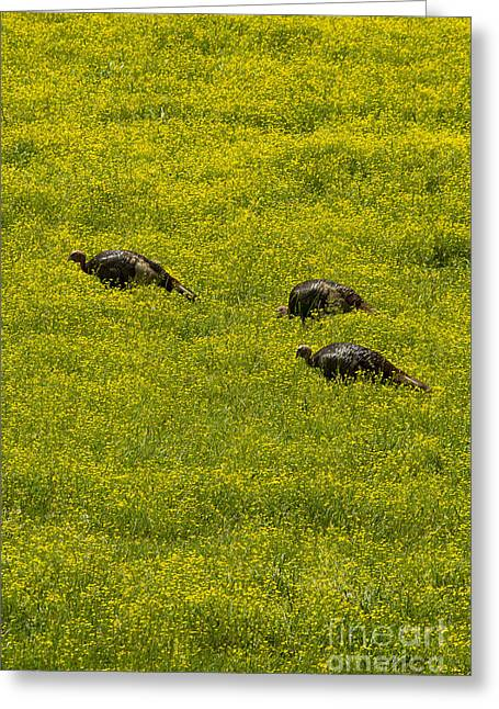 Meleagris Gallopavo Greeting Cards - Three Wild Turkeys in Wild Flowers-Signed-#3459 Greeting Card by J L Woody Wooden