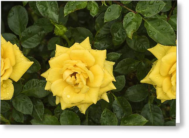 Wet Rose Greeting Cards - Three yellow roses in rain Greeting Card by Vishwanath Bhat