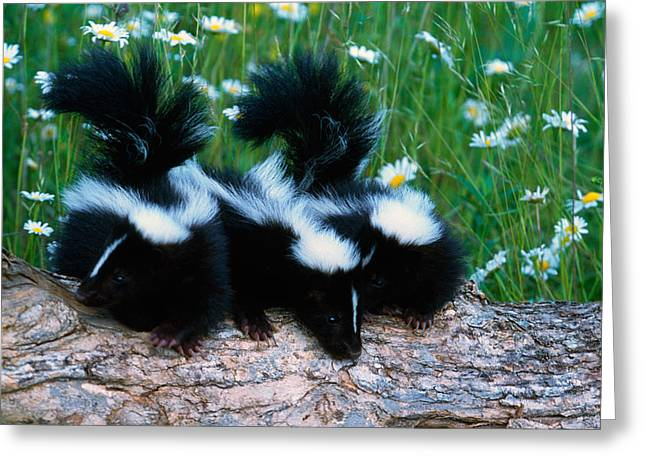 Side By Side Greeting Cards - Three Young Skunks On Log In Wildflower Greeting Card by Panoramic Images