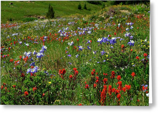 Jeremy Greeting Cards - Thriving Columbines Greeting Card by Jeremy Rhoades