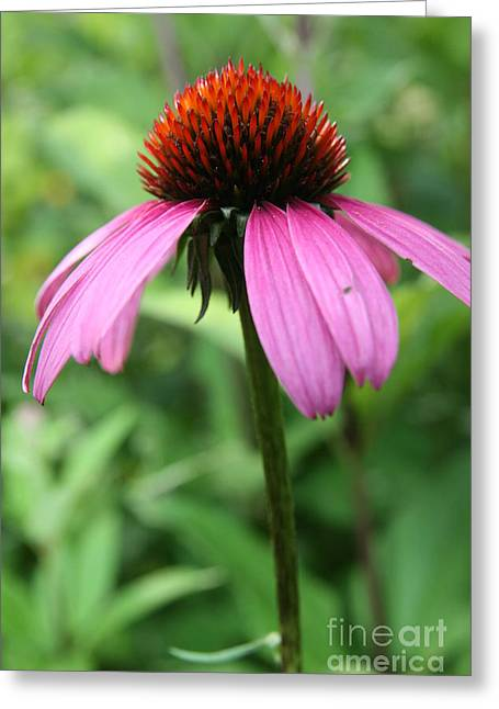Wildflower Photograph Greeting Cards - Thriving Summer Coneflower  Greeting Card by Neal  Eslinger