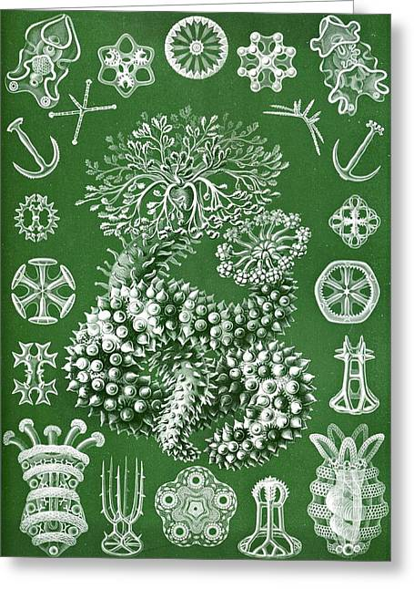 Art Lithographs Greeting Cards - Thuroidea From Kunstformen Der Natur Greeting Card by Ernst Haeckel