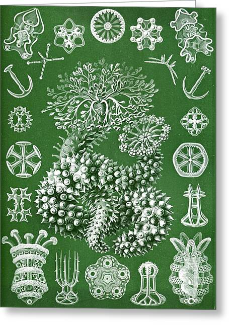Thuroidea From Kunstformen Der Natur Greeting Card by Ernst Haeckel