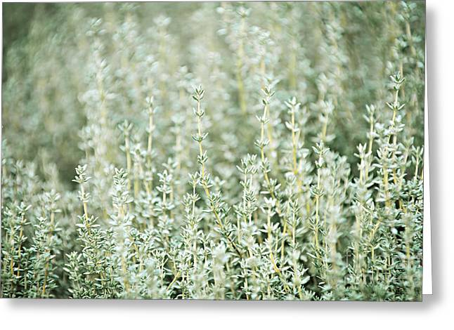 Sprigs Greeting Cards - Thyme  Greeting Card by Elena Elisseeva
