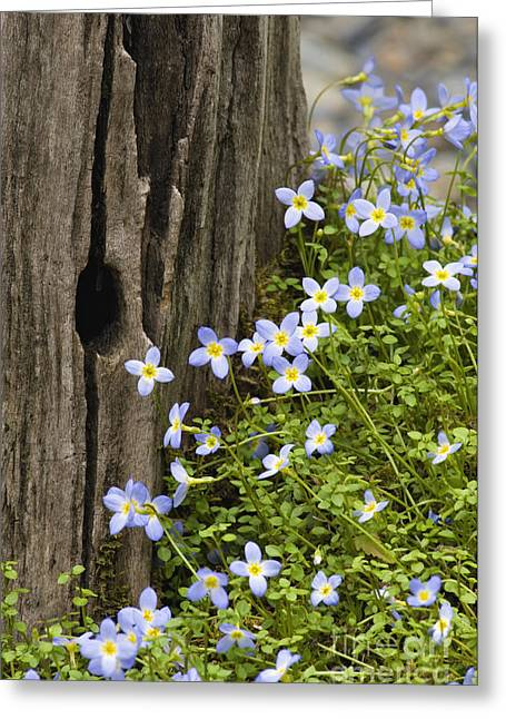 Great Smokey Mountains Greeting Cards - Thyme-leaved Bluets - D008426 Greeting Card by Daniel Dempster