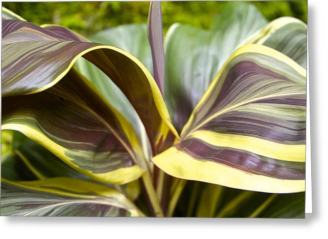 Cordylines Greeting Cards - Ti Plant in Hawaii Greeting Card by Venetia Featherstone-Witty