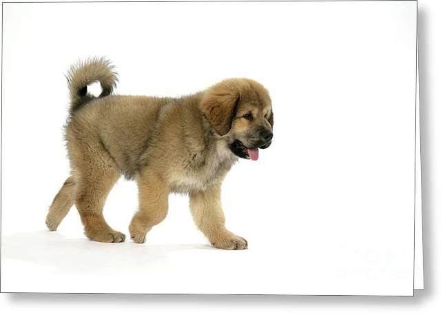 Dog Walking Greeting Cards - Tibetan Mastiff Puppy Greeting Card by John Daniels