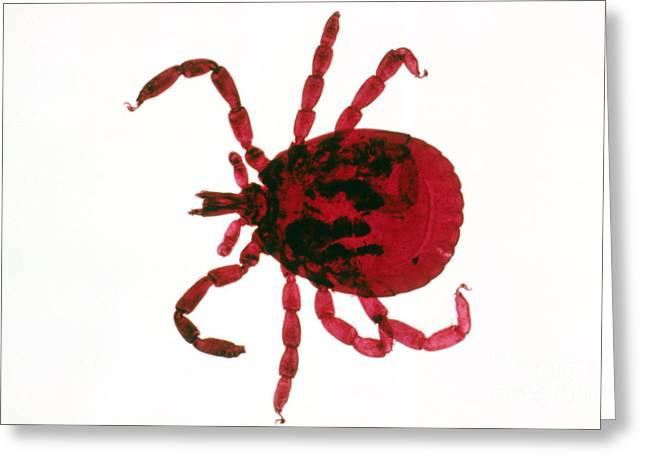 Tick Greeting Card by Perennou Nuridsany