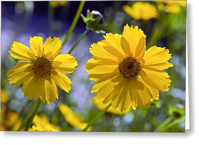 Tickseed Greeting Cards - Tickseed (Coreopsis sp.) Greeting Card by Science Photo Library