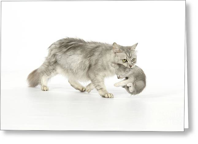 Domestic Pet Portraits.house Cat Greeting Cards - Tiffanie Cat And Kitten Greeting Card by John Daniels