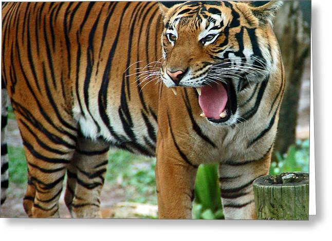 Tiger Greeting Cards - Tiger Greeting Card by Aimee L Maher Photography and Art