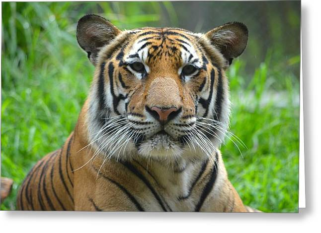 Jacksonville Greeting Cards - Tiger at Attention Greeting Card by Richard Bryce and Family