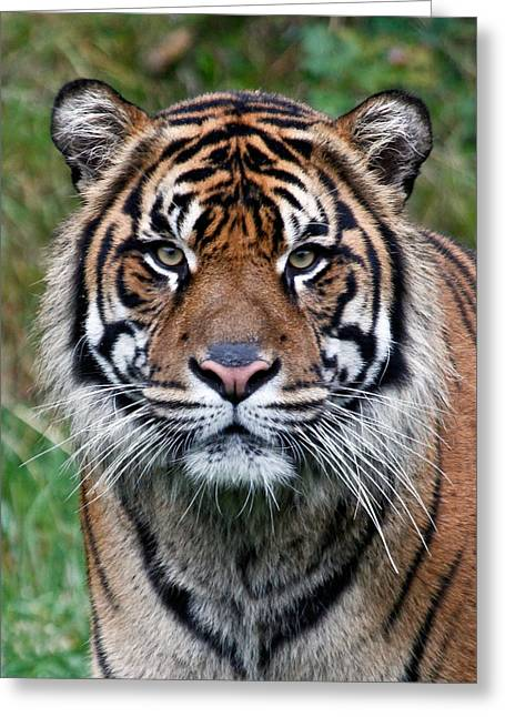 Jaguars Greeting Cards - Tiger Stripes Greeting Card by Athena Mckinzie