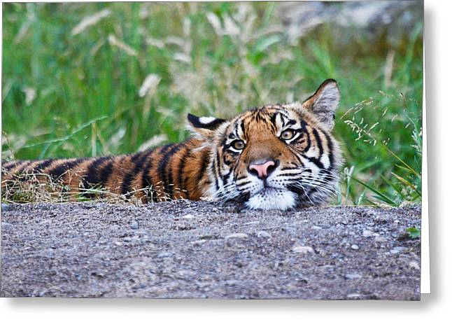 The Tiger Greeting Cards - Tiger Boredom Greeting Card by Athena Mckinzie