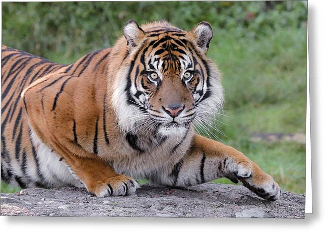 The Tiger Greeting Cards - Tiger BUSTED Greeting Card by Athena Mckinzie