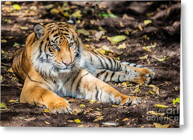 Young Tiger Greeting Cards - Tiger Cub I Greeting Card by Ray Warren