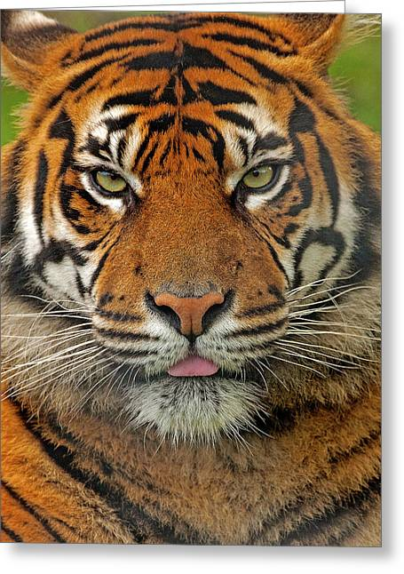 Scoullar Greeting Cards - Tiger eyes Greeting Card by Paul Scoullar