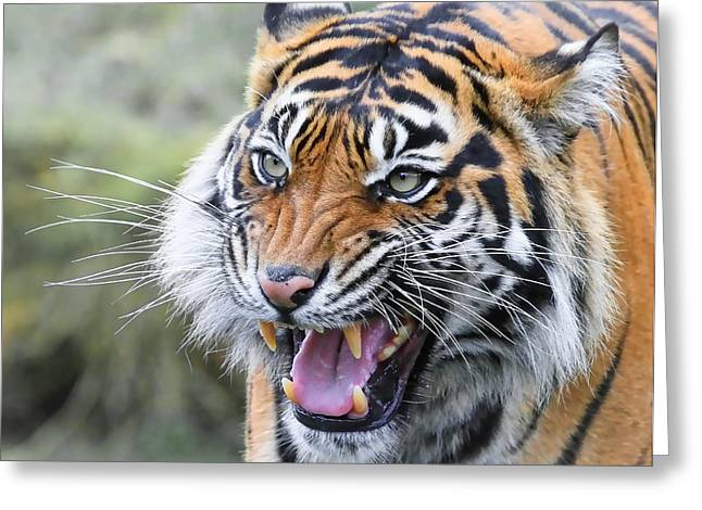 Bobcats Photographs Greeting Cards - Tiger Growl Greeting Card by Athena Mckinzie