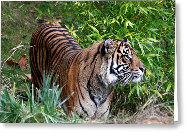 Bobcat Greeting Cards - Tiger In The Vast Jungles Greeting Card by Athena Mckinzie