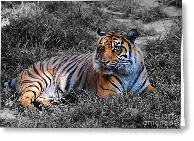 Cat Photographs Greeting Cards - Tiger Greeting Card by Jai Johnson