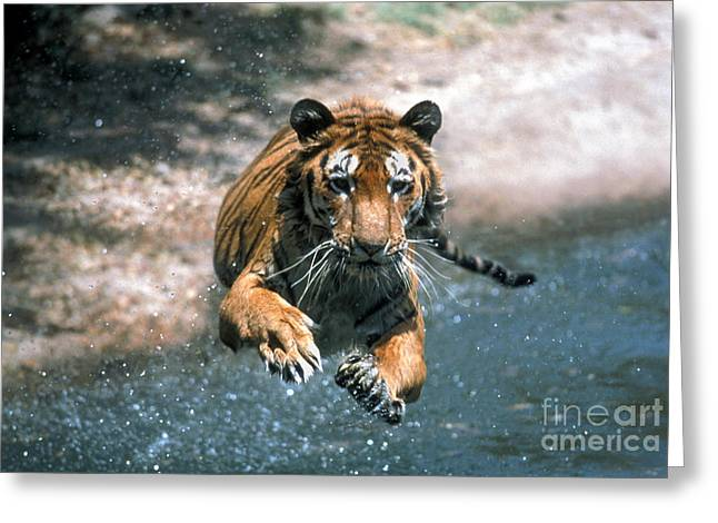 Mammalia Greeting Cards - Tiger Leaping Greeting Card by Mark Newman