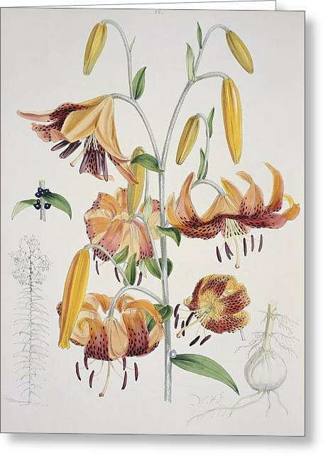 The Tiger Greeting Cards - Tiger lilies (Lilium tigrinum), artwork Greeting Card by Science Photo Library