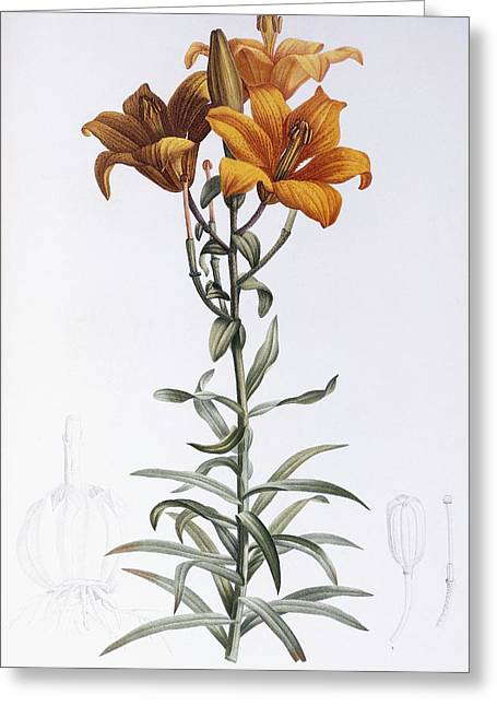 Floral Posters Greeting Cards - Tiger Lily Greeting Card by Pierre Joseph Redoute