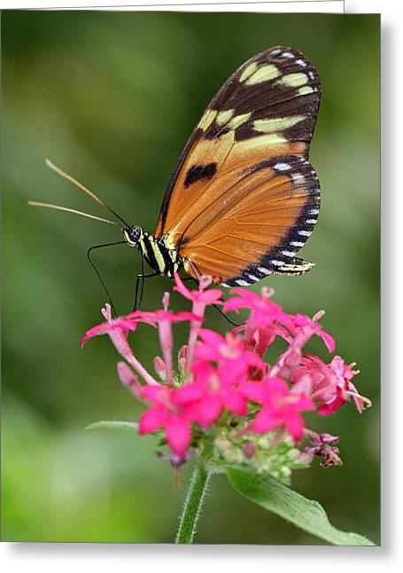 Incredible Colors Greeting Cards - Tiger Longwing Greeting Card by Juergen Roth