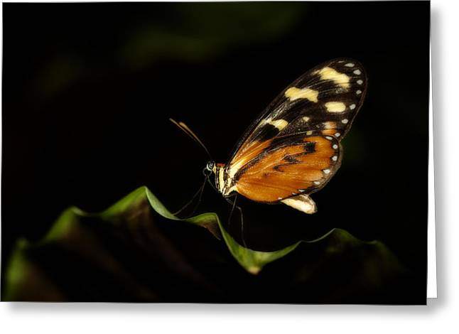 Invertebrates Greeting Cards - Tiger Monarch Butterfly Greeting Card by Zoe Ferrie