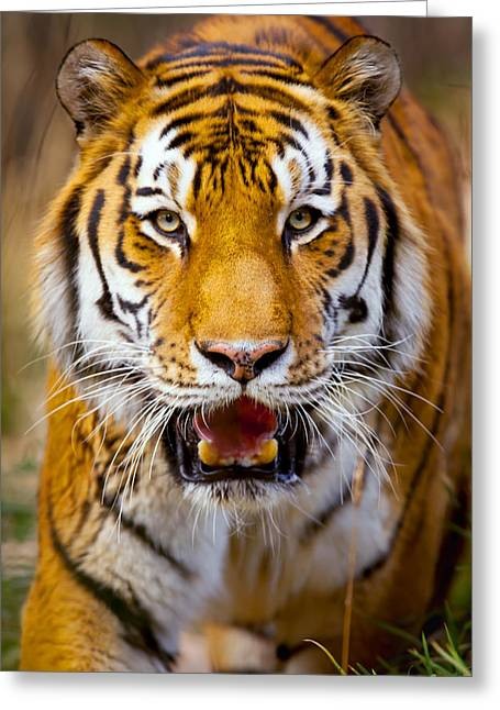 Top Seller Greeting Cards - Tiger on the hunt Greeting Card by David Millenheft