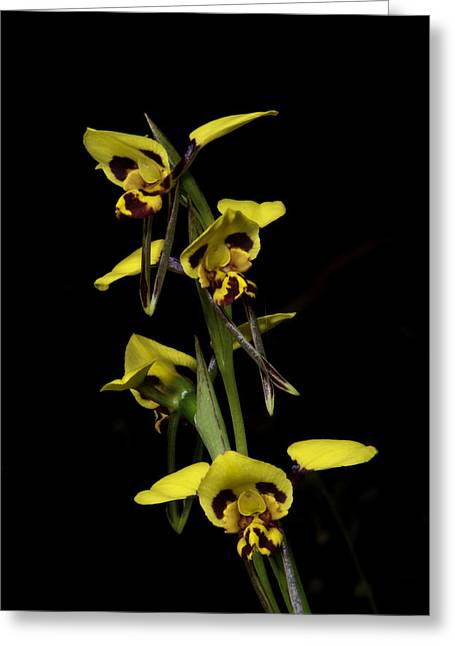 Reserve Greeting Cards - Tiger Orchid Foursome Greeting Card by Graham Palmer