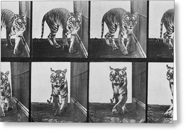 Tiger Greeting Cards - Tiger pacing Greeting Card by Eadweard Muybridge
