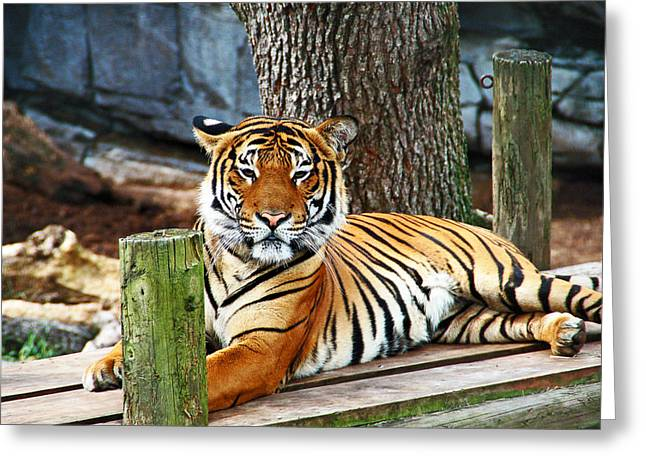 Tiger Portrait Greeting Card by Aimee L Maher Photography and Art Visit ALMGallerydotcom