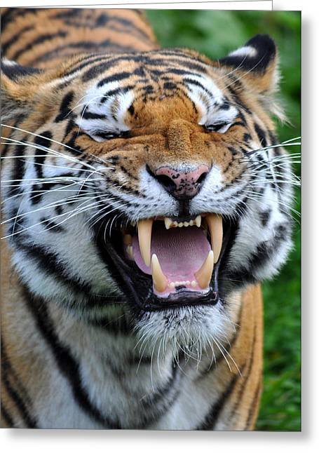 Growling Greeting Cards - Tiger Greeting Card by Rachel  Slater