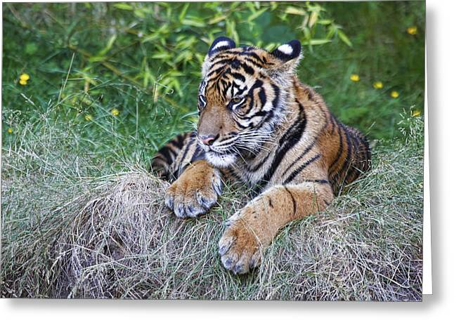 Bobcats Greeting Cards - Tiger Relaxing Greeting Card by Athena Mckinzie