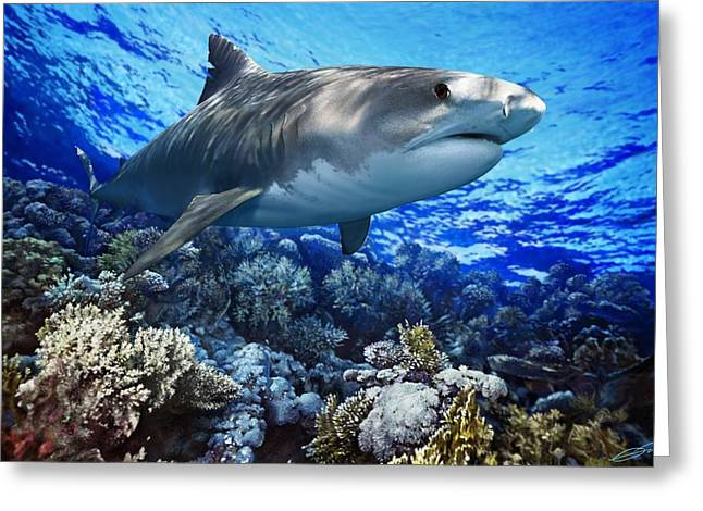 Chordata Greeting Cards - TIGER SHARK Galeocerdo cuvier Greeting Card by Owen Bell