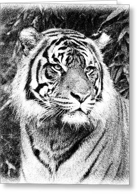 Growling Greeting Cards - Tiger Sketch Greeting Card by Steve McKinzie